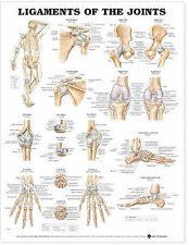 LIGAMENTS OF THE JOINTS POSTER (66x51cm) ANATOMICAL CHART NEW EDUCATIONAL