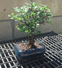 Japanese Elm Bonsai Tree - 7 Years Old Real Bonsai ~FREE SHIPPING~