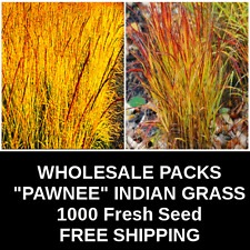 "SEED SALLE   Ornamental Grass ""PAWNEE GOLD""   1000 Seeds   FREE SHIPPING"