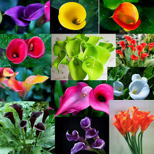 100PCS Sweet Fun Bonsai Colorful Calla Lily Seeds Fashion Rare Plants Flowers FT