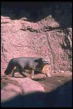 109035 Gray Fox Trote Mate En Fondo A4 Foto Impresión