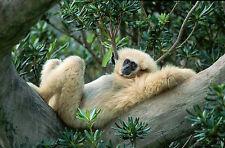 Ansichtskarte: Take it easy! Weisshandgibbon liegt entspannt  im Baum