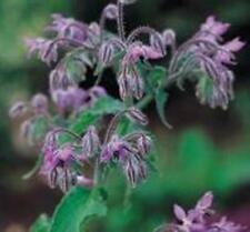 Herb Seeds - Borage - 5000 Seeds