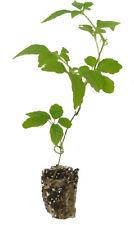 10 x Jiaogulan Pflanze - Kraut der Unsterblichkeit - Gynostemma pentaphyllum