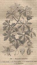 A0597 Momordica balsamina - Stampa Antica del 1858 - Xilografia