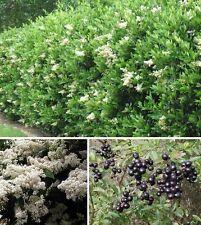Liguster 100 Samen / winterharte immergrüne Heckenpflanzen Super Sichtschutzwand