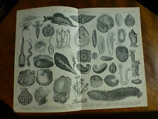 1874 ENGRAVING - MOLLUSCA & ECHINODERMATA - Elysia SEA CUCUMBER Oyster COCKLE
