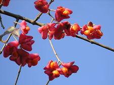 EUONYMUS EUROPAEUS ALV Berretta del prete Evonimo Spindle bonsai Prebonsai