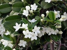 10 FRESH Stephanotis Floribunda / Madagascar Jasmine Seeds - SUPER FRAGRANT!