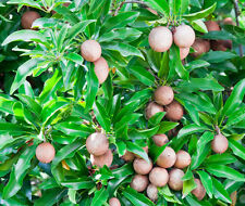 Live Grafted Sweet Pouteria Sapota Chikoo Fruit Plant