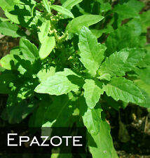 100 EPAZOTE SEEDS - ORGANIC - FRESH HERB - MEDICINAL CULINARY FLAVOR - USA