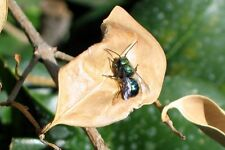 Blue Orchard Mason Bees / 30 inspected parasite free bee cocoons