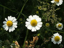 1000 GERMAN CHAMOMILE Herb Flower Seeds +Gift & CombS/H