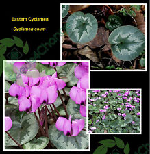 EASTERN CYCLAMEN * C. coum * EARLY SPRING BLOOMS * SHADE GROUND COVER * SEEDS