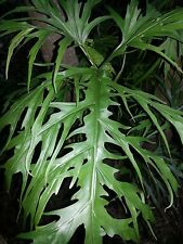 Philodendron Warscewiczii