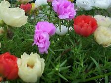 Portulaca Moss Rose ( Sundial Mix 1000 SEEDS ) Covers 20 square feet