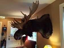"""The REAL """"Bullwinkle the moose"""" for sale!"""