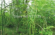 7 Seeds Moringa oleifera Drumstick Hybrid Long High Yielding Daily Vegetable