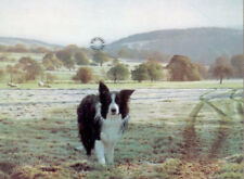 Steven Townsend ROGER Border Collie Collies Sheep Dog