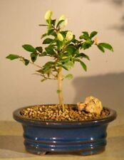 Flowering Lavender Star Flower Bonsai Tree - Small (Grewia Occidentalis)