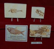 Fossil Fish KNIGHTIA 50 Million Year Old 3 Plaques+Stands+ID Card Lot#142
