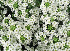 """500+ BULK  ANNUAL GROUNDCOVER + FLOWER SEEDS - ALYSSUM - """"SWEET WHITE""""  FRAGRANT"""