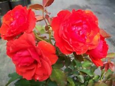 Trumpeter Orange Red Rose 1 Gal. Live Bush Plants Floribunda Plant Garden Roses
