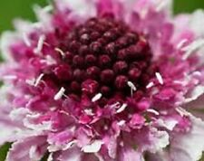 25+ Beaujolais Bonnets Pincushion Flower Seeds / Scabiosa / Perennial