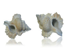 Perca Shells (Pack of 2), Seashells, White Small Craft Sea Shells, Shell
