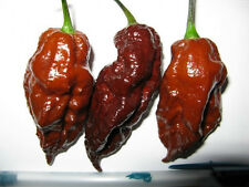 HOT CHILLI PEPPER CHOCOLATE BHUT JOLOKIA 10 FINEST SEEDS