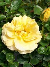Julia Child Butter Gold 1 Gallon Rose Floribunda Plant Roses Hardy Zones 5-9 Now