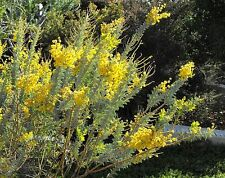 'KNIFE-LEAF WATTLE',30 SEEDS,Acacia cultriformis,BUSH TUCKER,FRUIT TREE,HERB