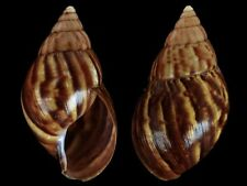 Achatina fulica - Shells from all over the World
