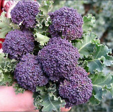 Cheap &Easy Gardening 100 Mini Purple Broccoli 90% germination Seeds TT414