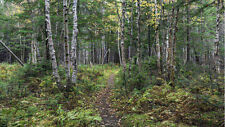 Path in a Birch Tree Forest 6' x 8'  (1,83m x 2,44m)-Wall Mural