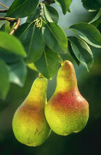 Pyrus communis Bartlett PEAR TREE Seeds!