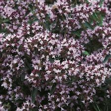 Herb Seeds - Oregano - 1500 Seeds