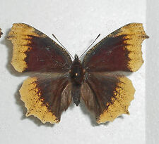 NYMPHALIS ANTIOPA *aberrant female*SLOVAK REP.