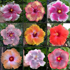 50 Particle/bag Giant Hibiscus Flower Seeds Garden & Home Perennial Potted