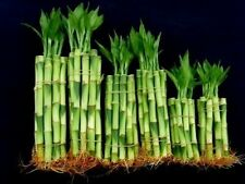60 Stalks Straight Lucky Bamboo Plant 4 X20+6x20+8x20 Pieces Fengshui Best Gift
