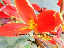10 seeds Red Fire canna lily very beautiful, not plant, flower, pond plant