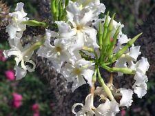 Pachypodium Rutenbergianum 5 SEEDS Rare Cactus Caudex Succulent Madagascar
