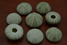 10 PCS GREEN SEA URCHINS SEA SHELL BEACH WEDDING NAUTICAL #7393