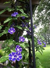 Japanese Morning Glory-Maisugata Picotee-Blue & White Blooms-8 seeds from 2015