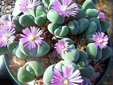 Gibbaeum Dispar living stones exotic rare mesembs rock cactus semi seed 20 SEEDS