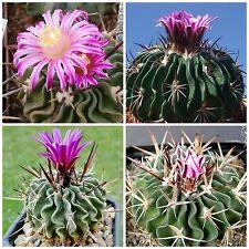 50 semi di Echinofossulocactus obvalatus ,piante grasse,seeds cactus