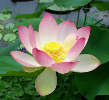 20 Seeds Nelumbo nucifera Seeds Indian sacred Pink Lotus India National Flower