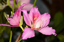Bauhinia Variegata - Pink Orchid Tree - Rare Tropical Plant Shrub Seeds (8)