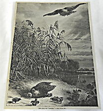 1882 magazine engraving ~ THE CALL OF DANGER ~ Hawk swoops down on baby birds