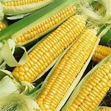 100 Seed Golden Bantam sweet corn seed new seed for 2016 Non-Gmo,Heirloom  Seeds